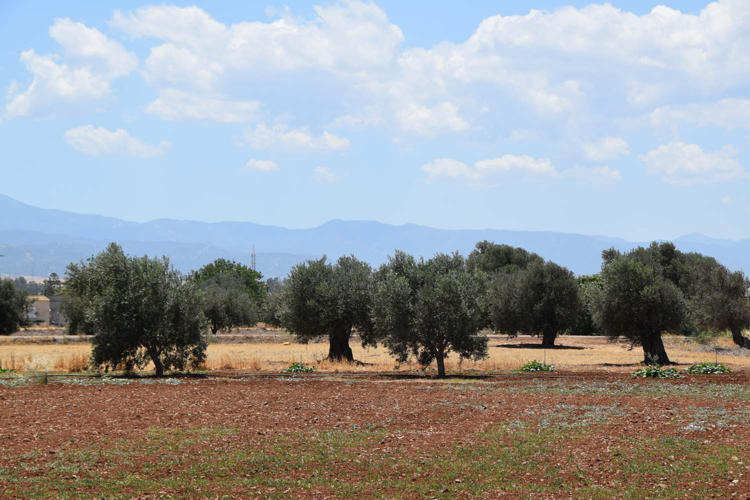 olive_cultivation_3