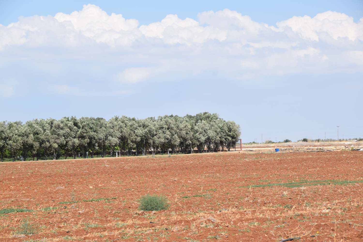 olive_cultivation_5
