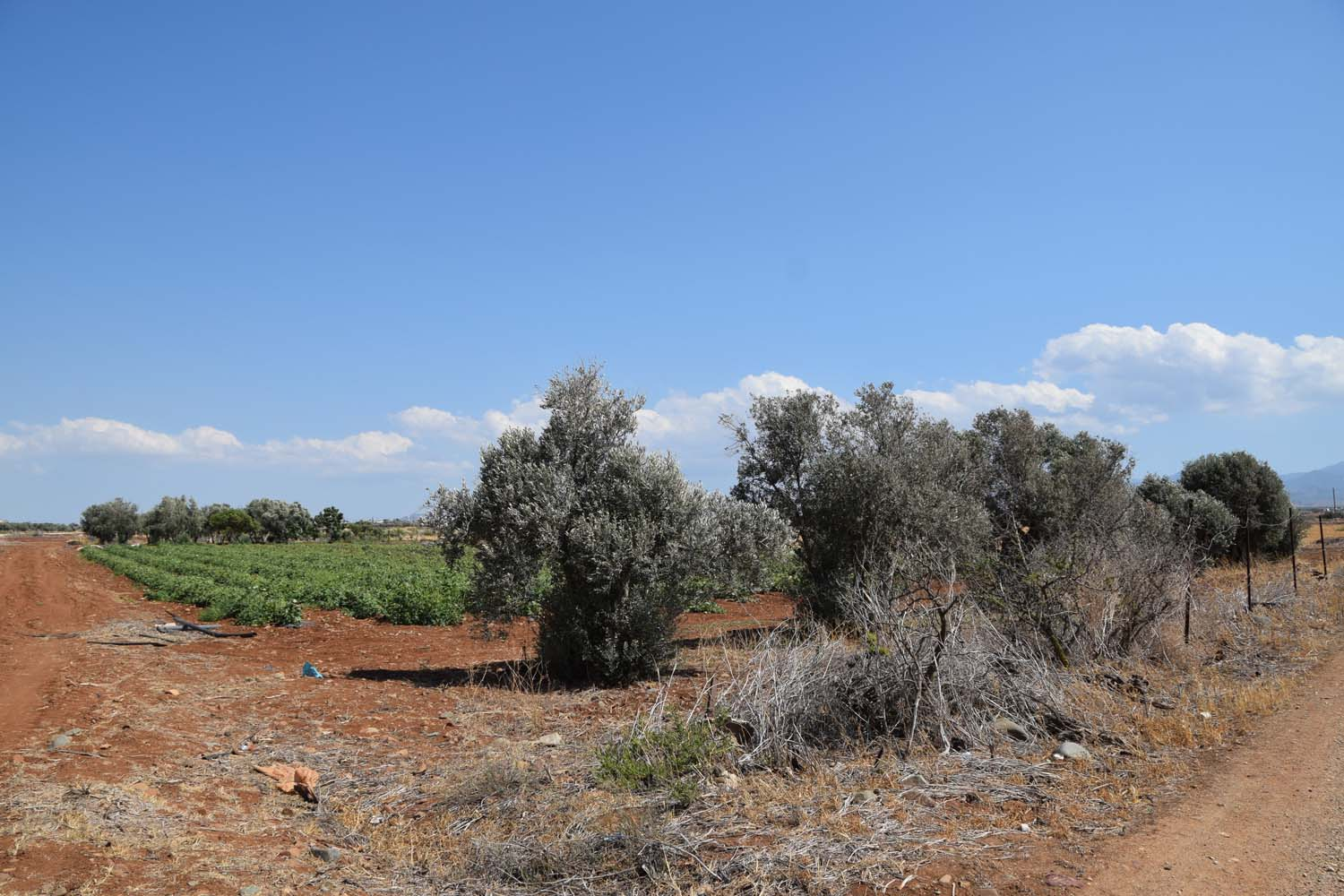 olive_cultivation_6